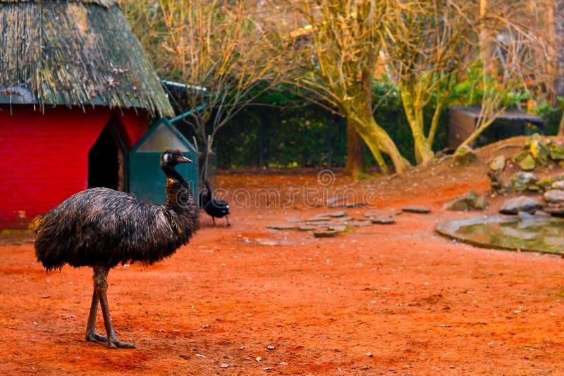 Pájaro gris del emú que tiene un paseo en un rojo colorido - anaranjado, natural, habitado, ambiente del parque zoológico foto de archivo