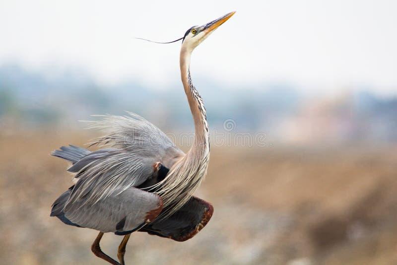Pájaro gris y marrón grande que separa sus alas Gran herron azul Herodias del Ardea foto de archivo libre de regalías
