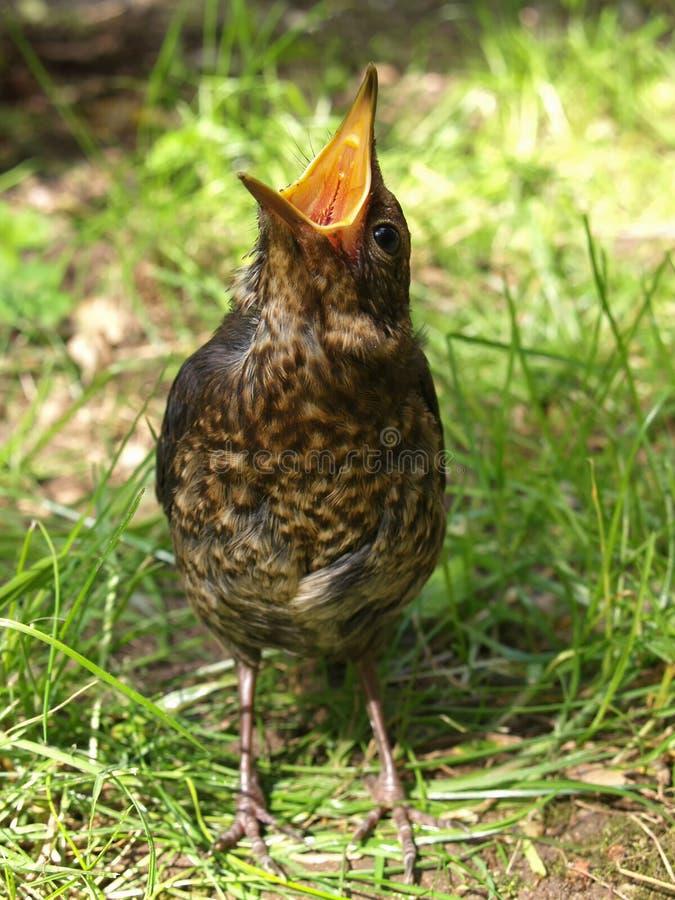 Pájaro hambriento que bosteza fotografía de archivo