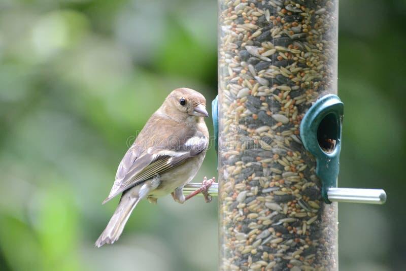 Download Pájaro hermoso foto de archivo. Imagen de pinzón, cubo - 41909016