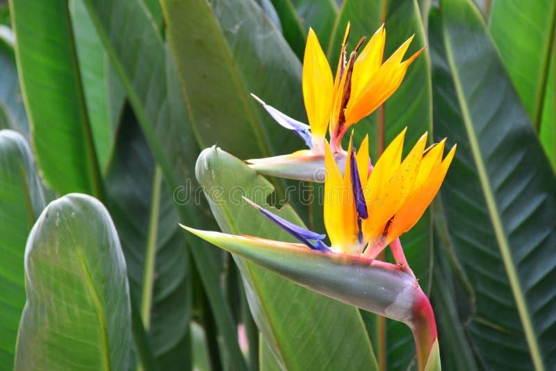 Pájaro hermoso de la flor de paraíso imagen de archivo libre de regalías