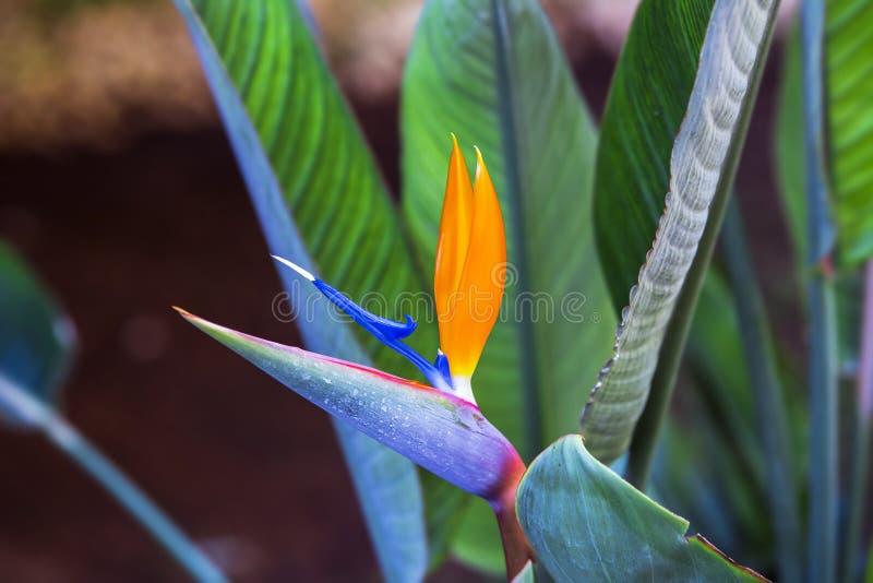 Pájaro hermoso de la flor de paraíso Reginae tropicales del Strelitzia de la flor en fondo verde fotos de archivo