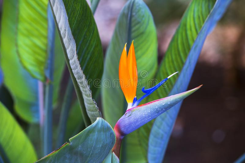 Pájaro hermoso de la flor de paraíso Reginae tropicales del Strelitzia de la flor en fondo verde fotografía de archivo libre de regalías