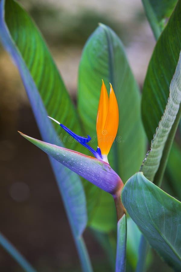 Pájaro hermoso de la flor de paraíso Reginae tropicales del Strelitzia de la flor en fondo verde fotos de archivo libres de regalías