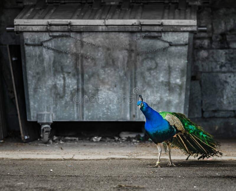 Pájaro hermoso del pavo real en la ciudad, oposición de la naturaleza y urb imagen de archivo libre de regalías