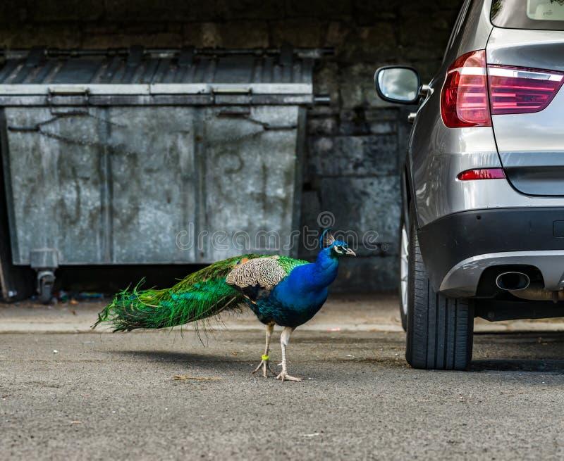 Pájaro hermoso del pavo real en la ciudad, oposición de la naturaleza y urb imagen de archivo