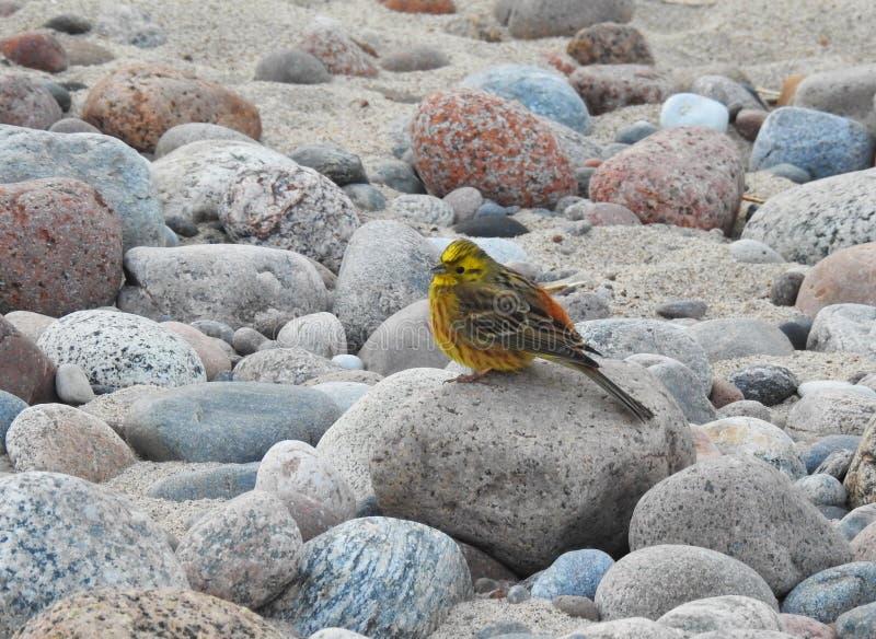 Pájaro hermoso en la piedra, Lituania imagenes de archivo