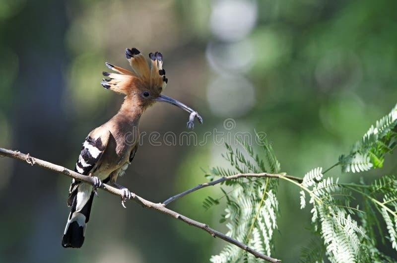 Pájaro, Hoopoe eurasiático o epops comunes del Upupa del Hoopoe imagenes de archivo