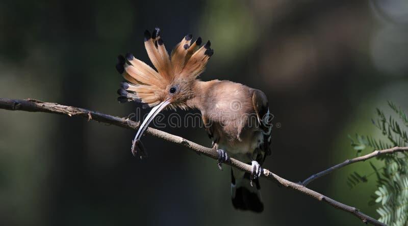 Pájaro, Hoopoe eurasiático o epops comunes del Upupa del Hoopoe fotos de archivo libres de regalías