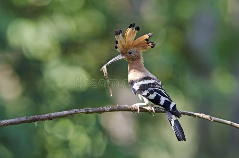 Pájaro, Hoopoe eurasiático o epops comunes del Upupa del Hoopoe imagen de archivo libre de regalías