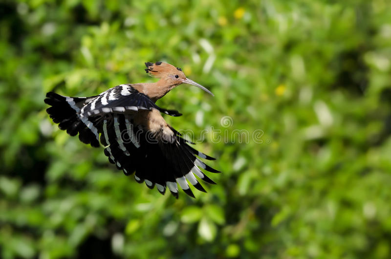 Pájaro, Hoopoe eurasiático o epops comunes del Upupa del Hoopoe fotografía de archivo