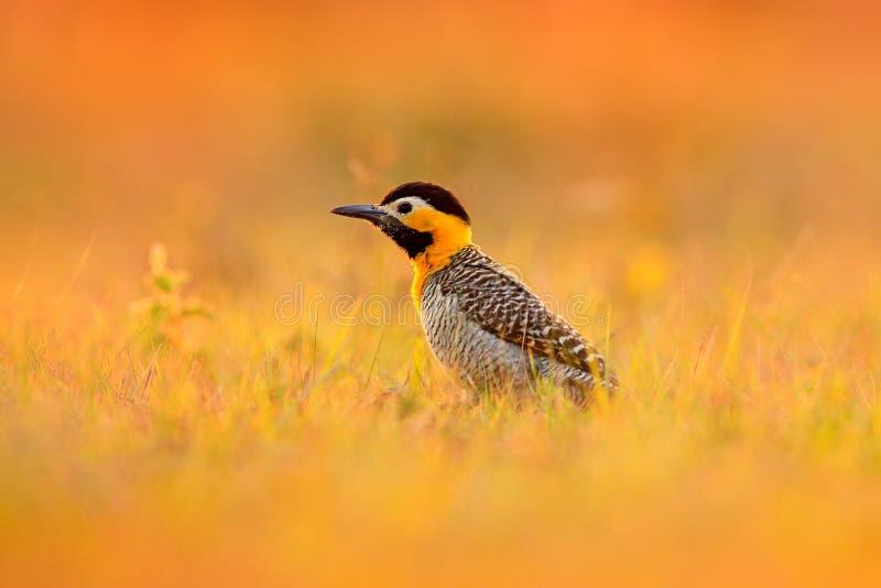 Pájaro, igualando la luz en prado Pulsación de corriente del Brasil Parpadeo de Campo, campestris del Colaptes, pulsación de corr imágenes de archivo libres de regalías