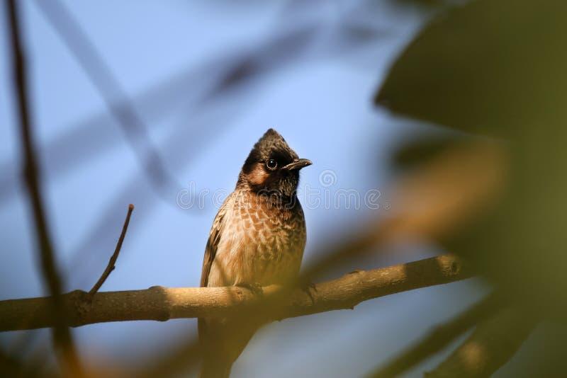 Pájaro indio del bulbul fotos de archivo