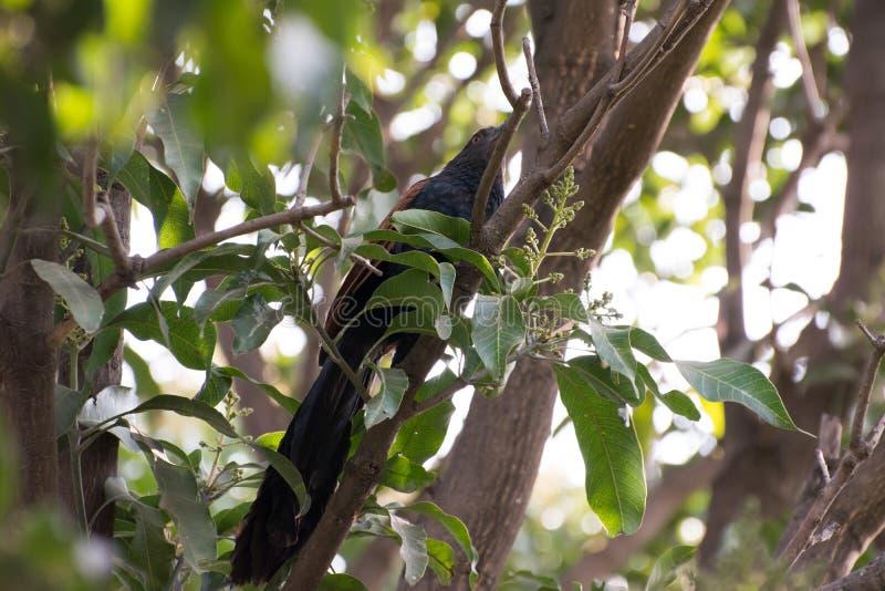 Pájaro indio del cuco fotografía de archivo