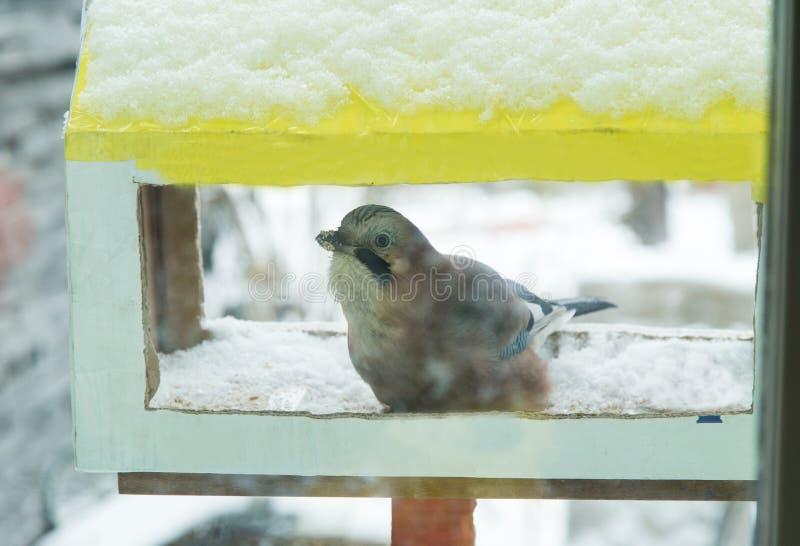 Pájaro Jay que picotea el grano Visión desde la ventana fotos de archivo