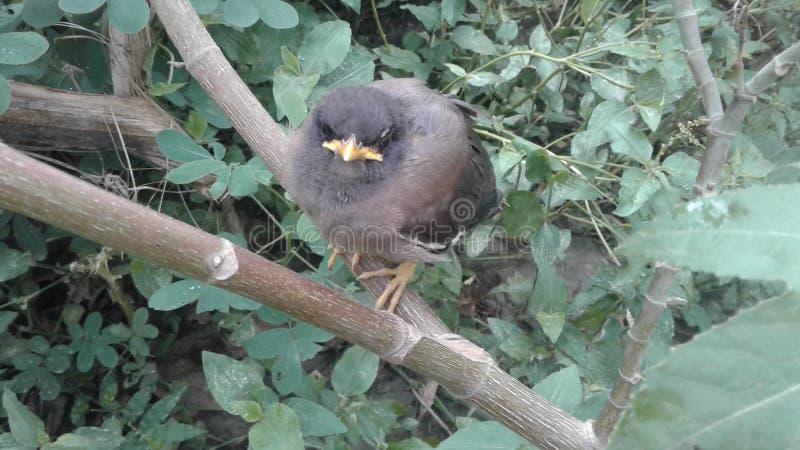 Pájaro joven del myna imagenes de archivo
