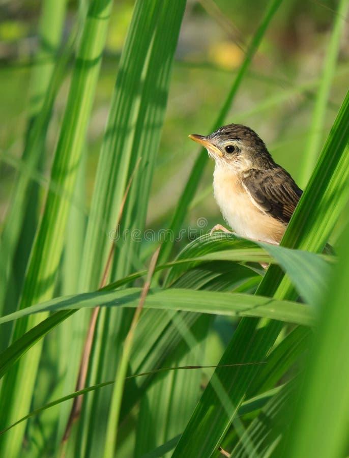 Pájaro joven en Cymbopogon fotografía de archivo libre de regalías