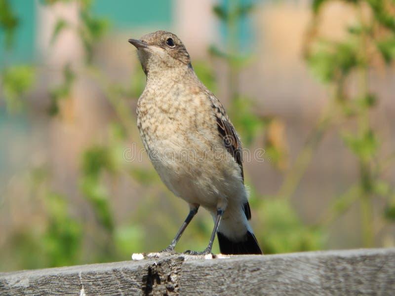 Pájaro Kamenka en el salvaje foto de archivo