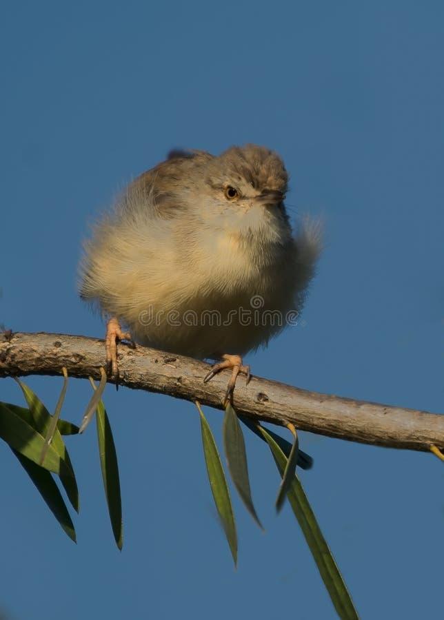 Pájaro llano del Prinia imagen de archivo