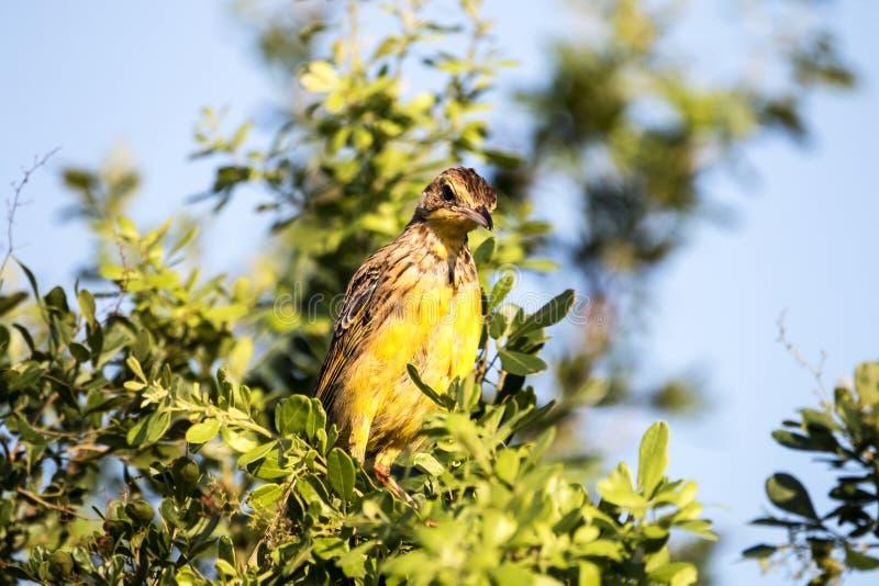 Pájaro Longclaw Throated amarillo encaramado en copa fotos de archivo