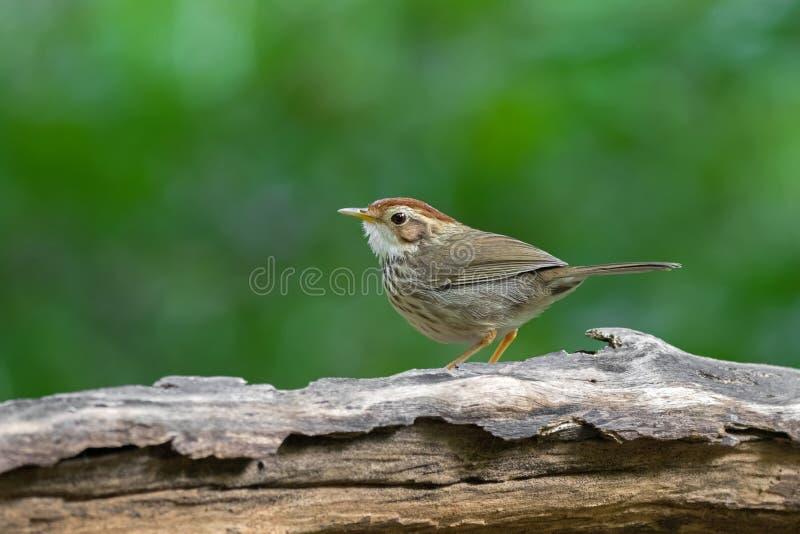 pájaro manchado Soplo-throated del charlatán en marrón con las rayas en brea imágenes de archivo libres de regalías
