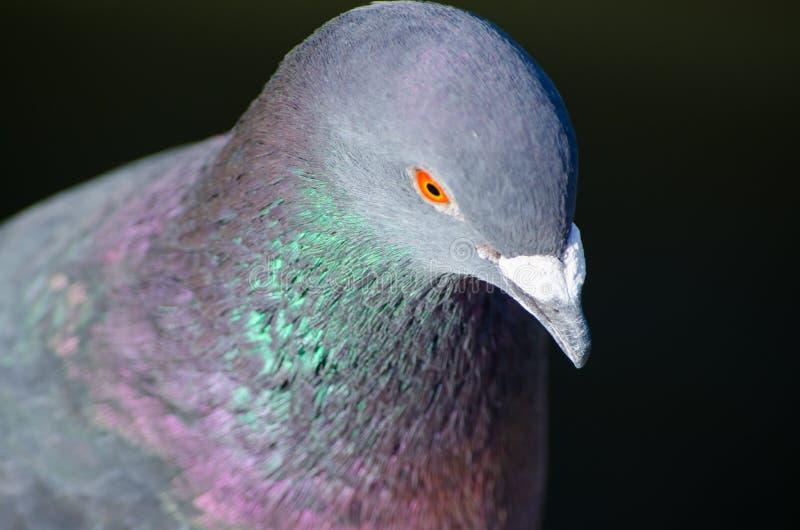 Pájaro masculino de la paloma del primer que muestra su color hermoso del cuello aislado en fondo negro imagen de archivo libre de regalías