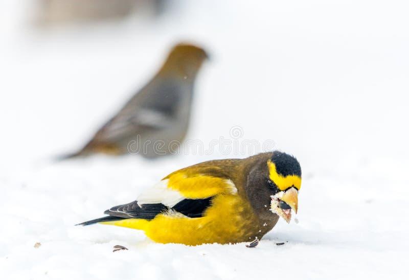 Pájaro masculino del pájaro de tarde que celebra Año Nuevo por el menos veinticinco grados de cent3igrado foto de archivo