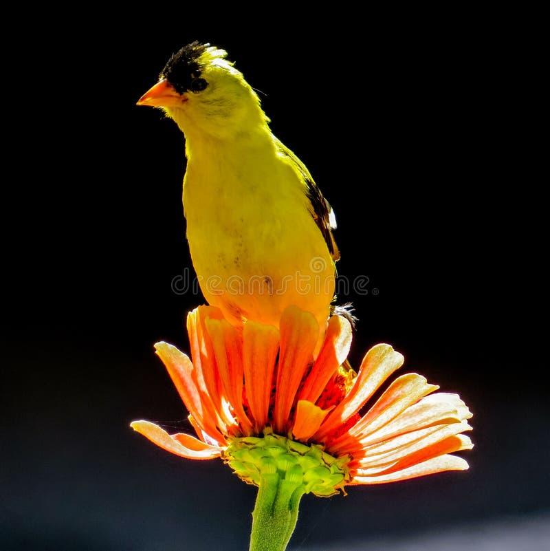 Pájaro masculino del jilguero americano que se sienta en una flor del Zinnia en un jardín en New Jersey foto de archivo