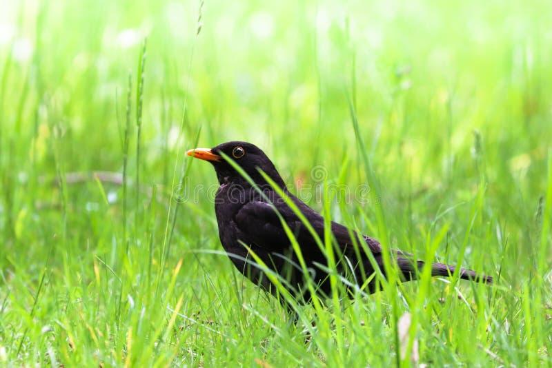Pájaro masculino del mirlo que se sienta en piso de la hierba verde Pájaro cantante negro que se sienta e hierba del canto con ha fotografía de archivo libre de regalías