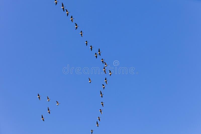 Pájaro migratorio en el cielo fotos de archivo