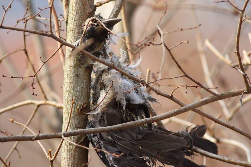 Pájaro muerto pegado imagen de archivo