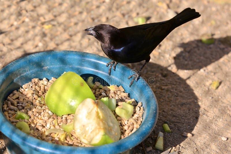 Pájaro negro fotografía de archivo