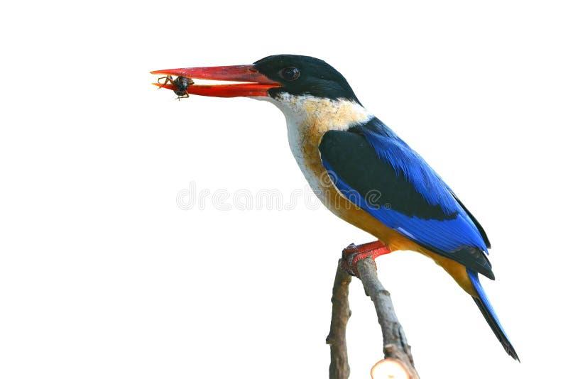 pájaro Negro-capsulado del martín pescador foto de archivo