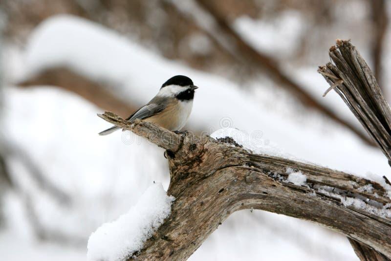 Pájaro Negro-Capsulado lindo del Chickadee en una ramificación en la nieve. imagen de archivo
