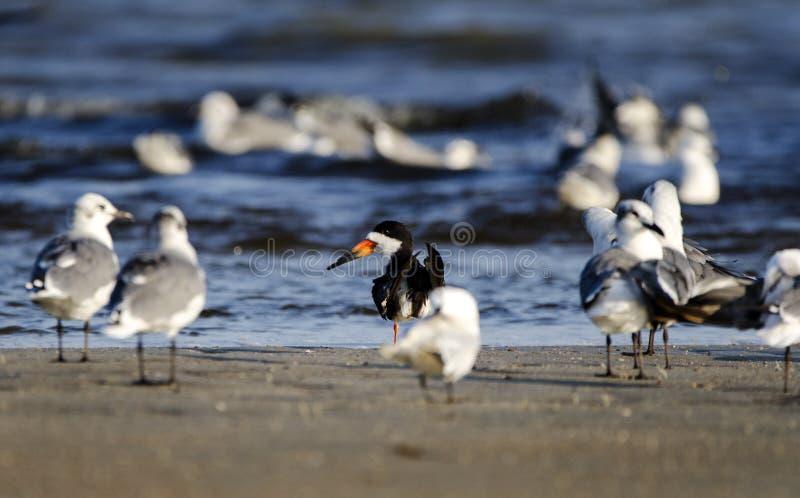 Pájaro negro de la desnatadora en la playa, Hilton Head Island imagen de archivo