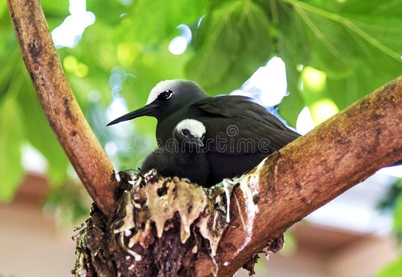 Pájaro negro del bobo con el polluelo imagenes de archivo