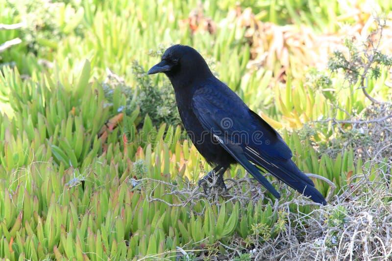 Pájaro negro del cuervo fotos de archivo libres de regalías