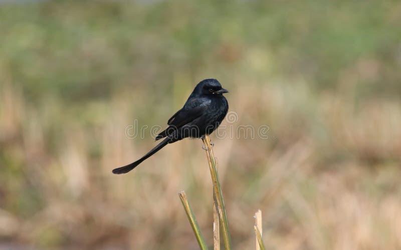 Pájaro negro del Drongo fotos de archivo libres de regalías