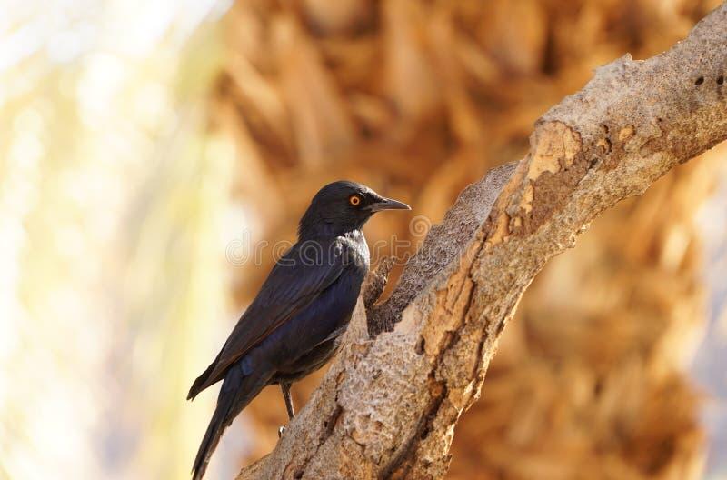Pájaro negro en un árbol en el barranco del río de los pescados, Namibia fotografía de archivo