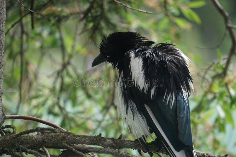Pájaro negro hermoso encaramado en árbol imágenes de archivo libres de regalías