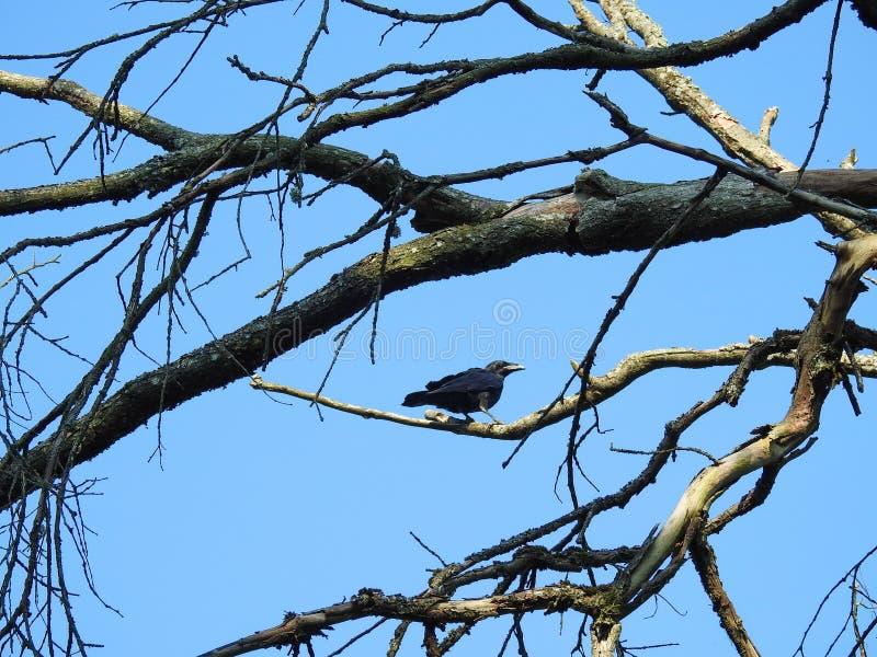 Pájaro negro joven del cuervo, Lituania fotos de archivo libres de regalías