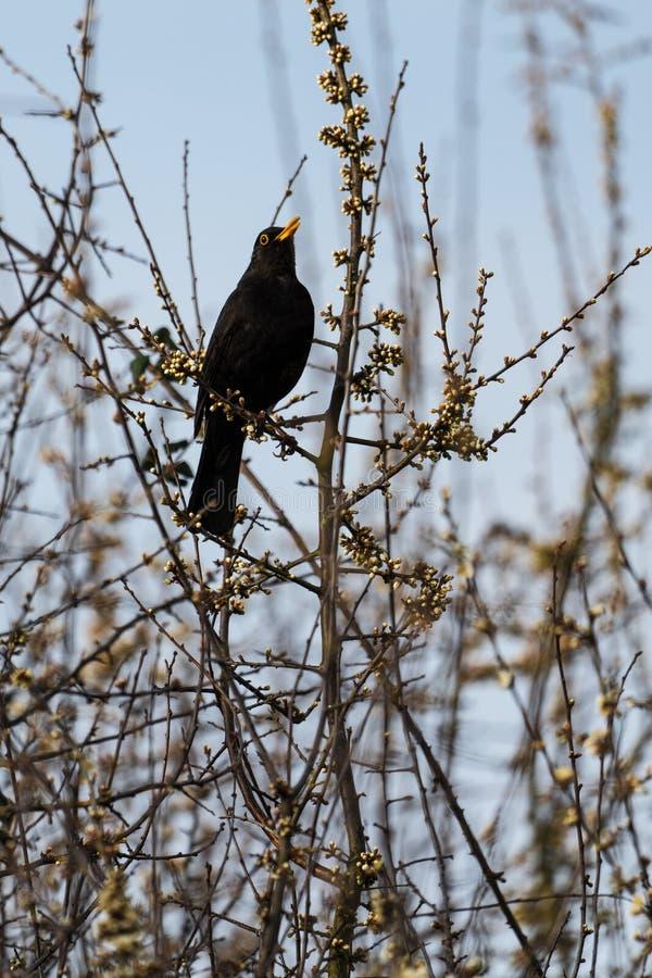 Pájaro negro masculino que canta imágenes de archivo libres de regalías
