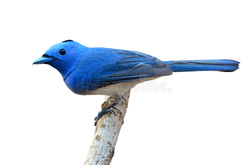 Pájaro Negro-naped del monarca fotos de archivo libres de regalías