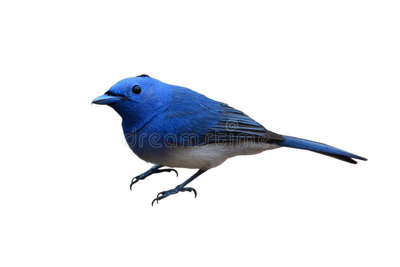 Pájaro Negro-naped del monarca imagen de archivo