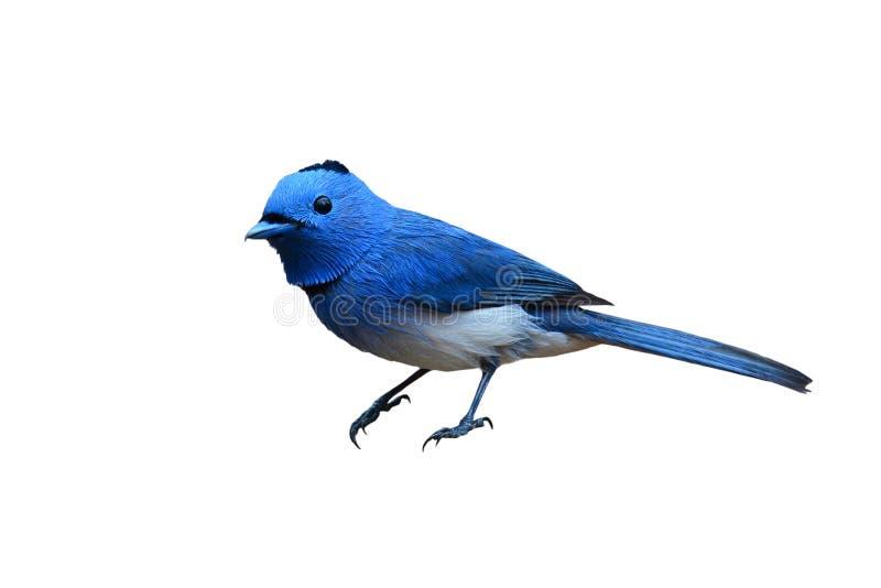 Pájaro Negro-naped del monarca imagen de archivo libre de regalías