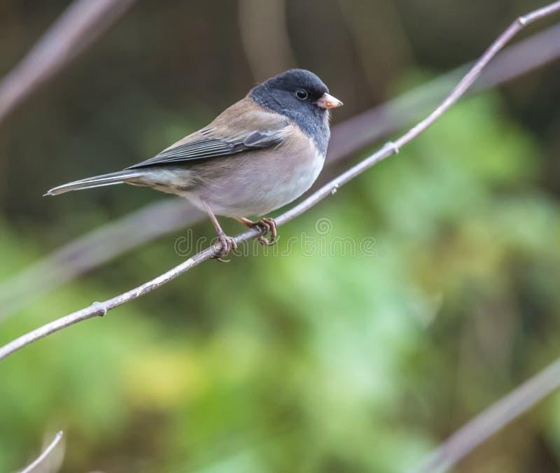 Pájaro observado oscuridad del junco fotografía de archivo libre de regalías