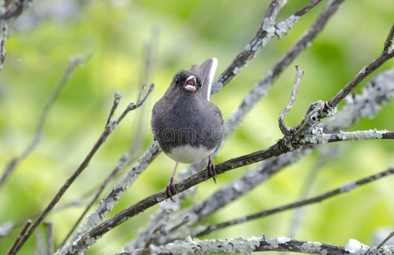 Pájaro observado oscuridad del Junco sining fotos de archivo