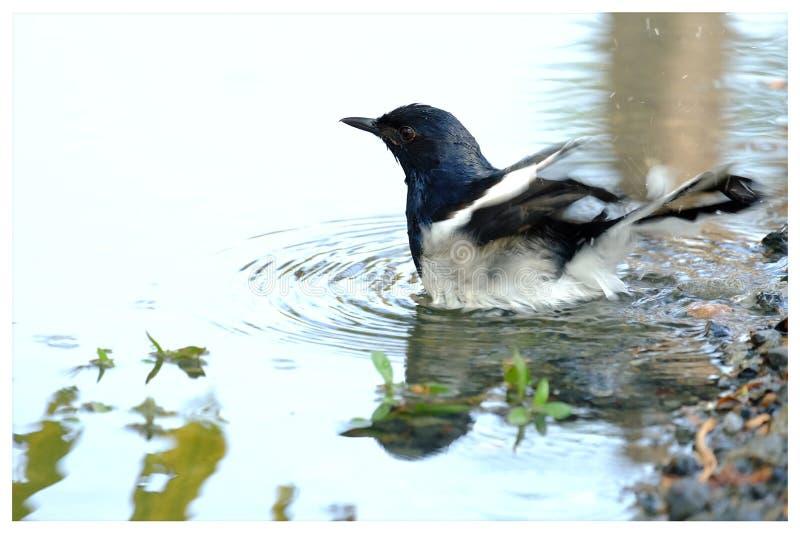 Pájaro oriental del petirrojo de la urraca que juega en un agua en el parque imagenes de archivo