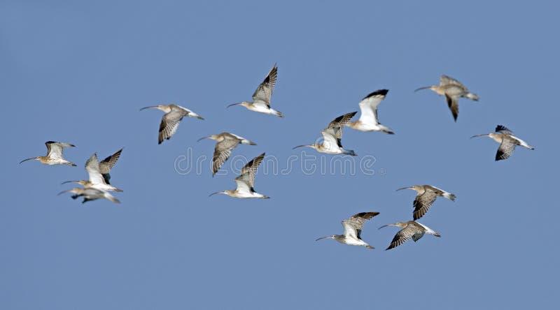 Pájaro, pájaro de Tailandia, zarapito del eurasiático de los pájaros de la migración imagen de archivo