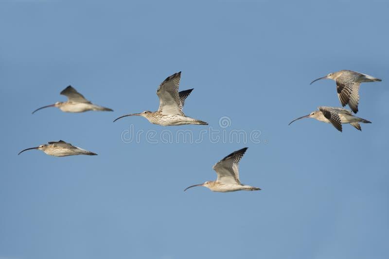 Pájaro, pájaro de Tailandia, zarapito del eurasiático de los pájaros de la migración fotografía de archivo libre de regalías